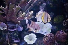Tropical sea fish in aquarium Stock Images