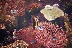 Tropical sea fish in aquarium Royalty Free Stock Image
