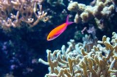 Tropical sea fish Royalty Free Stock Image