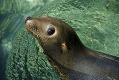 Tropical Sea Lion Seal Royalty Free Stock Images