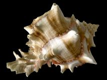Tropical sea shell  Royalty Free Stock Photography