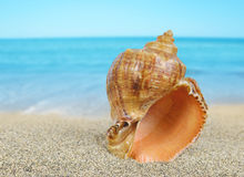 Tropical sea shell Stock Images