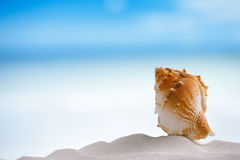 Tropical sea  shell on white Florida beach sand under the sun li. Tropical shell on white Florida beach sand under sun light, shallow dof Stock Photos