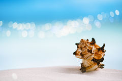 Tropical sea  shell on white Florida beach Royalty Free Stock Image