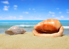 Tropical sea shells Royalty Free Stock Image