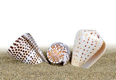Tropical sea shells of the Conidae family Stock Photography