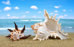 Tropical sea shells Royalty Free Stock Image