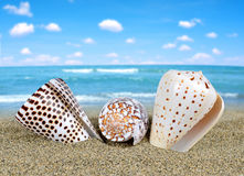 Tropical sea shells Stock Images