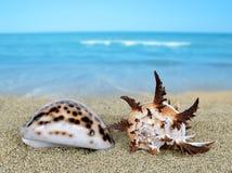 Tropical sea shells Royalty Free Stock Photo