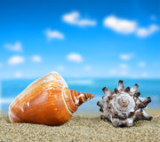 Tropical sea shells Royalty Free Stock Photography
