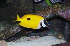 Tropical sea surgeon. Fish in aquarium Stock Photography