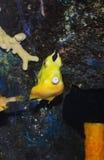 Tropical sea surgeon. Fish in aquarium Stock Images