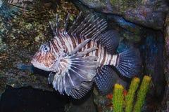 Tropical sea surgeon. Fish in aquarium Royalty Free Stock Photography