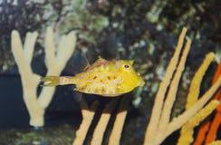 Tropical sea surgeon. Fish in aquarium Royalty Free Stock Images