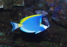 Tropical sea surgeon fish. In aquarium Stock Image