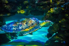 Tropical Sea Tortoise In Blue Water. Stock Image