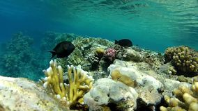 In tropical sea. Underwater life fish on the bottom. The corals and the caves. Corals. Fish and clear water. Tropical sea stock footage