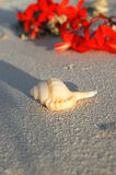 Tropical Seashell on the Beach Royalty Free Stock Image