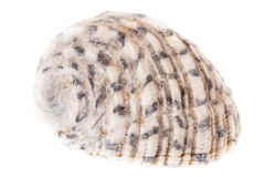 Tropical seashell Royalty Free Stock Image
