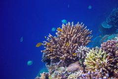 Tropical seashore underwater landscape. Coral reef wall in open sea water. Stock Photo