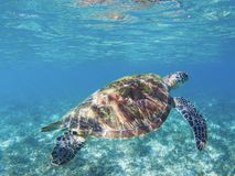 Tropical seashore underwater photo. Marine tortoise undersea. Green turtle in sea sanctuary. Tropical seashore underwater photo. Marine tortoise undersea. Green Royalty Free Stock Photo