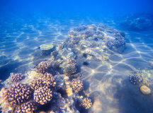 Tropical seashore with young corals. Underwater photo of marine nature. Royalty Free Stock Image