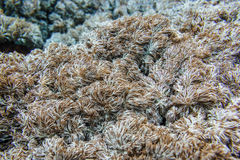 Tropical seaweed on the reef in the Indian Ocean Royalty Free Stock Image