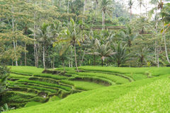 Tropical setting with rice terraces Royalty Free Stock Photos