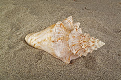 Tropical shell Stock Image