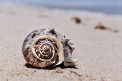 Tropical shell on the sandy beach in Cancun, Mexico Royalty Free Stock Photo