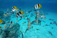 Tropical shoal of fish underwater Pacific ocean. Tropical shoal of fish butterflyfish with snapper underwater in the lagoon of Rangiroa, French Polynesia Royalty Free Stock Image