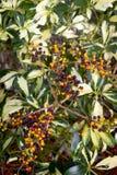 Tropical shrub berry plant Stock Image