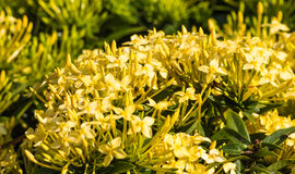 Tropical shrub with yellow flowers Royalty Free Stock Photo