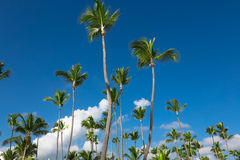 Tropical sky with cocnut palms Royalty Free Stock Image