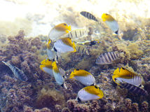 Tropical small fishes and corals.  Stock Image