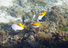 Tropical small fishes and corals.  Stock Images