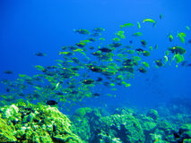 Tropical small fishes and corals.Underwater Stock Photos