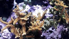 Tropical small fishes float near a coral reef. Multi-colored tropical small fishes float near a coral reef stock video