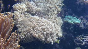 Tropical small fishes float round corals stock video footage