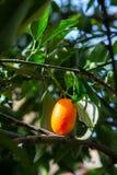 Tropical small ripe orange citrus fruits kumquats on tree, close. Up, ready to harvest stock photography