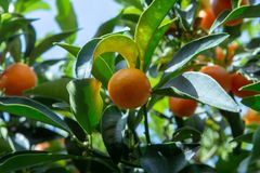 Tropical small ripe orange citrus fruits kumquats on tree, close. Up, ready to harvest royalty free stock photography