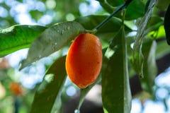 Tropical small ripe orange citrus fruits kumquats on tree, close. Up, ready to harvest stock images