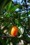 Tropical small ripe orange citrus fruits kumquats on tree, close. Up, ready to harvest royalty free stock photos