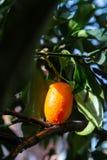 Tropical small ripe orange citrus fruits kumquats on tree, close. Up, ready to harvest stock photos