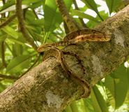 A tropical snake in a frangipani tree Stock Photography
