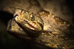 Tropical snake, tree boa Corallus hortulanus a serpent of the Amazon rain forest in Colombia stock image
