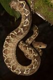 Tropical snake, tree boa Corallus hortulanus royalty free stock photo