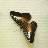 Tropical South-American Butterfly Heliconius Numata Aurora on the wall. Toned stock images
