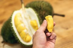 Tropical southeast asian pungent fruit durian pried open and ready to eat.  royalty free stock images