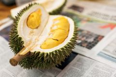 Tropical southeast asian pungent fruit durian pried open and ready to eat.  stock images